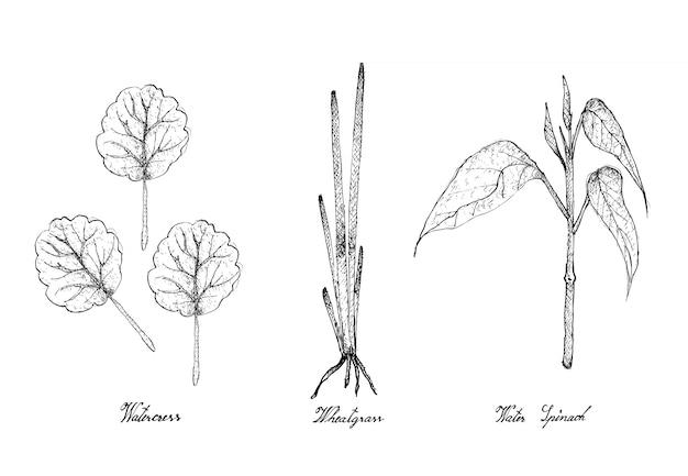 Mão desenhada de agrião, grama de trigo e espinafre de água