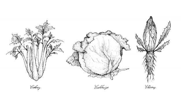 Mão desenhada de aipo, repolho e chicória