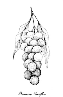 Mão desenhada de baccaurea parviflora no monte de árvore