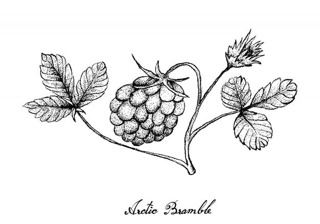 Mão desenhada de bagas de amora ártica no fundo branco