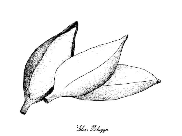 Mão desenhada de banana madura fresca de bluggoe prata