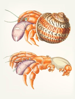 Mão desenhada de caranguejo diógenes