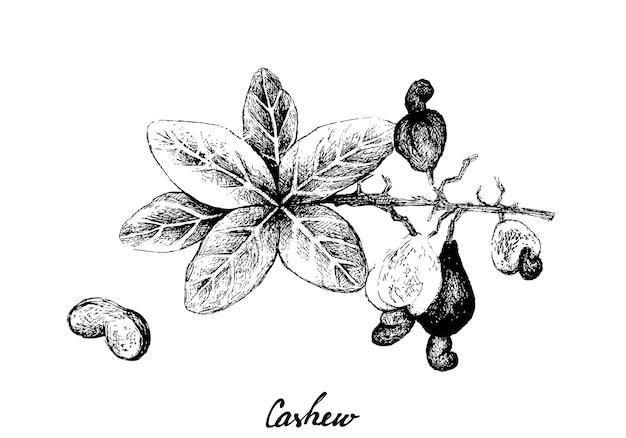 Mão desenhada de castanha de caju fresca em uma planta