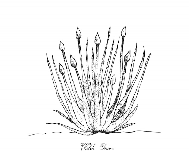 Mão desenhada de cebola de gales em fundo branco