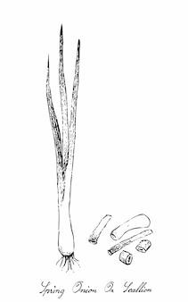 Mão desenhada de cebolinha em fundo branco