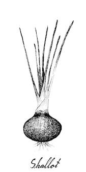 Mão desenhada de chalotas ou cebolas vermelhas