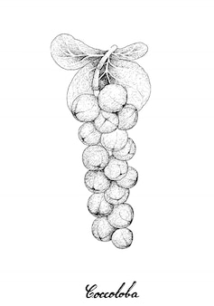 Mão desenhada de coccoloba uvifera ou frutas seagrape