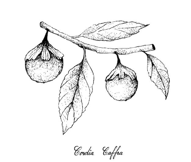 Mão desenhada de cordia caffra frutas no monte de árvore