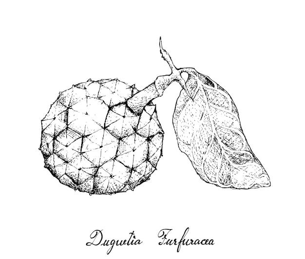 Mão desenhada de duguetia furfuracea fruit