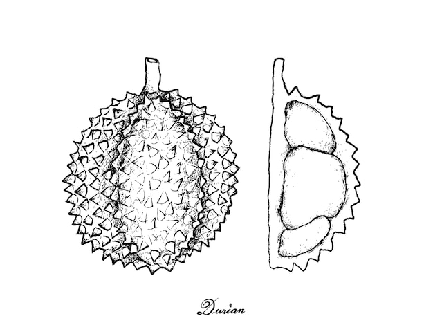Mão desenhada de durian maduro