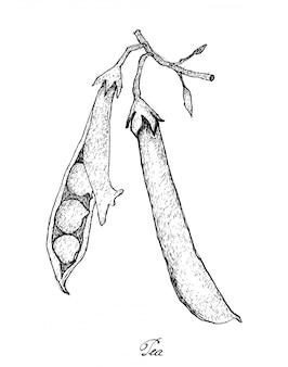 Mão desenhada de ervilha verde sobre fundo branco