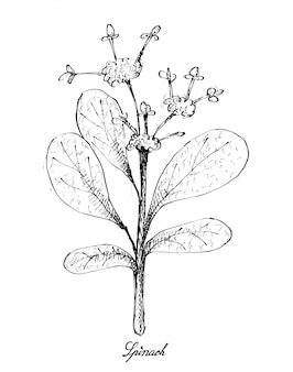 Mão desenhada de espinafre no fundo branco