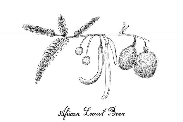 Mão desenhada de feijão de alfarroba africano