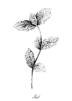 Mão desenhada de folhas de hortelã fresca em branco