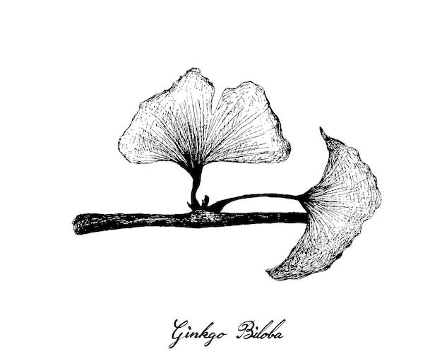 Mão desenhada de folhas e planta de ginkgo biloba