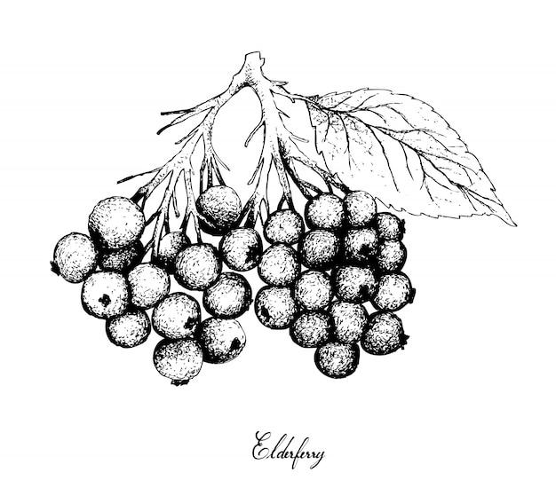 Mão desenhada de frutas de sabugueiro no fundo branco