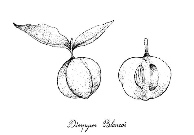 Mão desenhada de frutas diospyros blancoi
