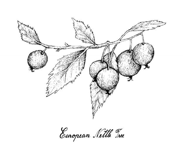 Mão desenhada de frutos de árvore de urtiga europeia em fundo branco