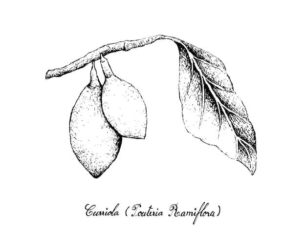 Mão desenhada de frutos de curriola no ramo de árvore