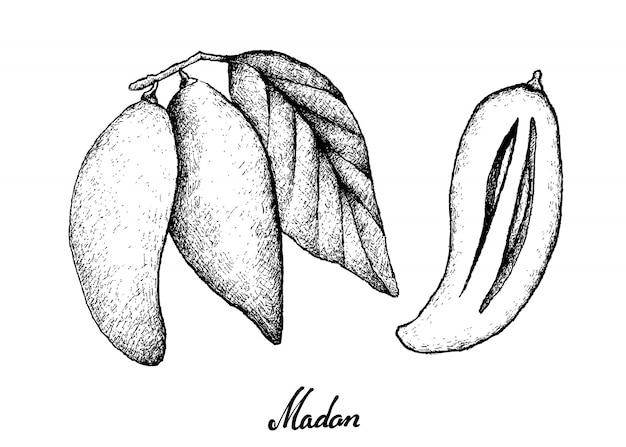 Mão desenhada de frutos maduros madan no fundo branco