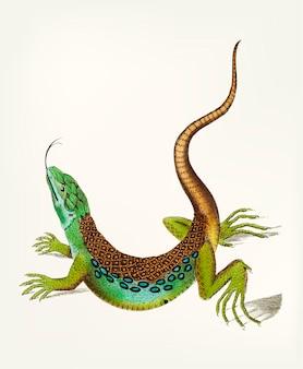 Mão desenhada de grande lagarto malhado