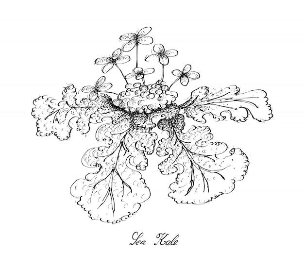Mão desenhada de kale do mar no fundo branco
