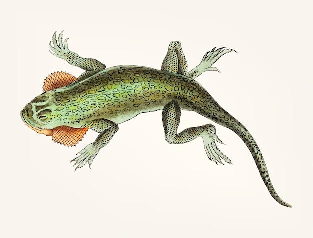 Mão desenhada de lagarto do lobo-bochechas