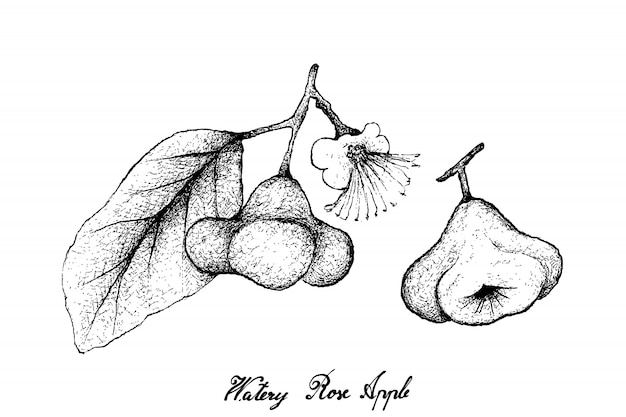Mão desenhada de maçã aquosa rosa sobre fundo branco