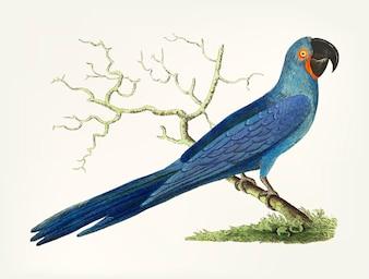 Mão desenhada de Maccaw azul-escuro de cauda longa