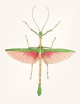 Mão desenhada de mantis de duas espinhos