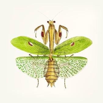 Mão desenhada de mantis sagrado