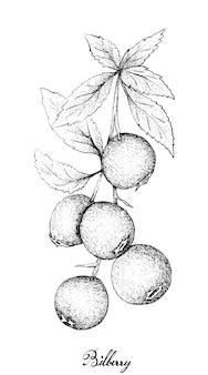 Mão desenhada de mirtilos maduros sobre fundo branco