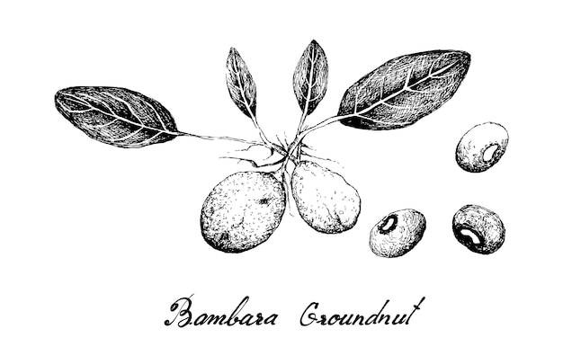 Mão desenhada de nozes de bambara
