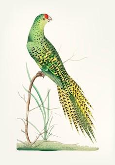 Mão desenhada de papagaio-de-cauda-comprida