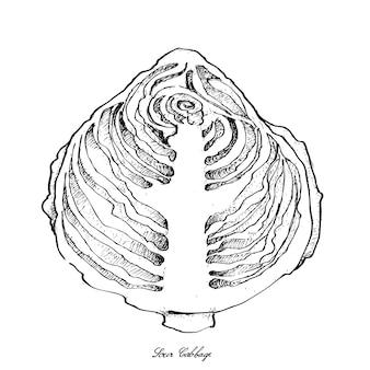 Mão desenhada de repolho azedo em fundo branco