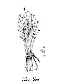 Mão desenhada de semente de linho ou linum usitatissimum