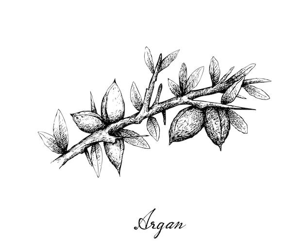 Mão desenhada de sementes de argan em um galho