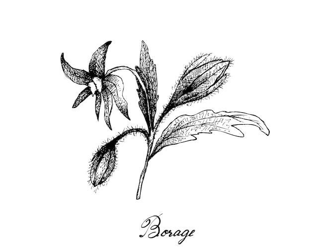 Mão desenhada de sementes de borragem no fundo branco