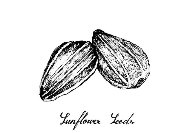 Mão desenhada de sementes de girassol