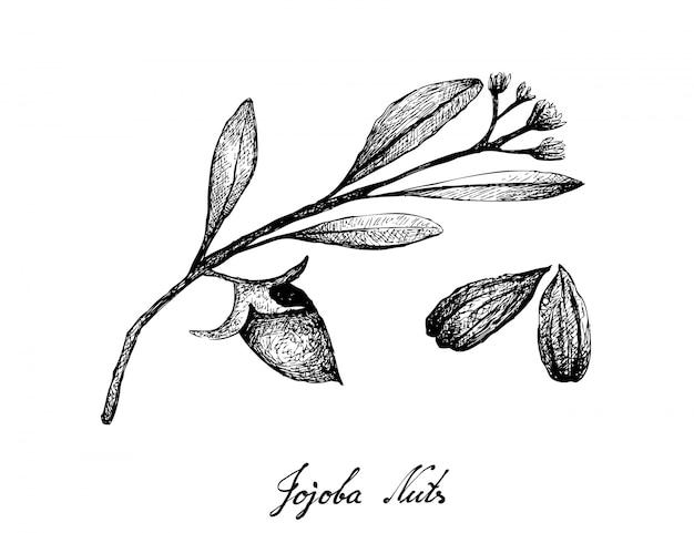 Mão desenhada de sementes e nozes de jojoba