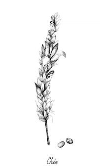 Mão desenhada de sementes e plantas de chia