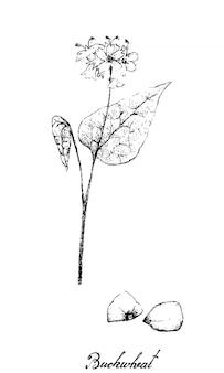 Mão desenhada de trigo sarraceno