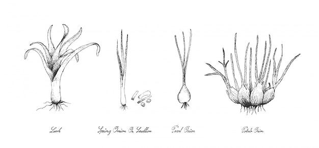 Mão desenhada de vegetais de bulbo no fundo branco
