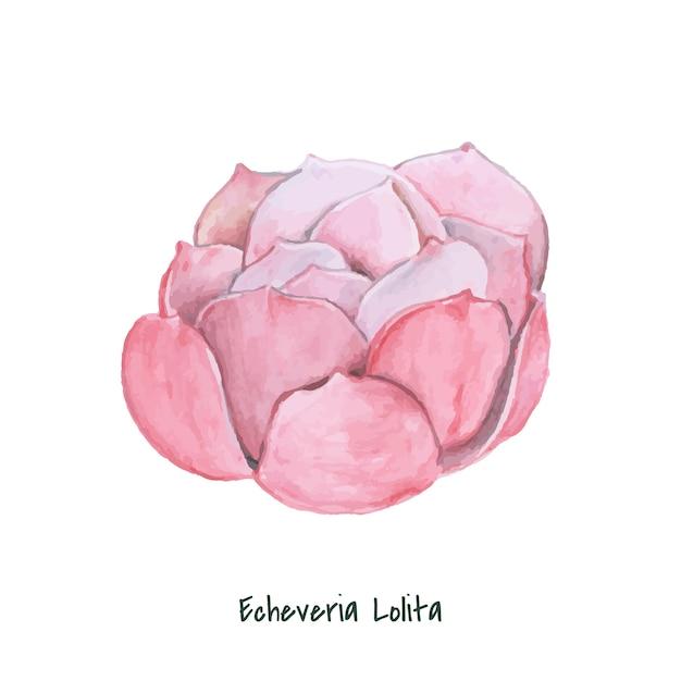 Mão desenhada echeveria lolita suculenta