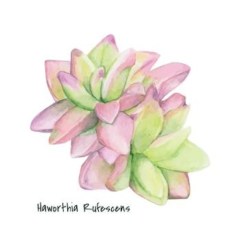 Mão desenhada haworthia rufescens suculenta