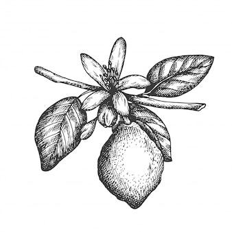 Mão desenhada ilustração de limão em estilo vintage