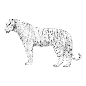 Mão desenhada vector de ilustração de tigre
