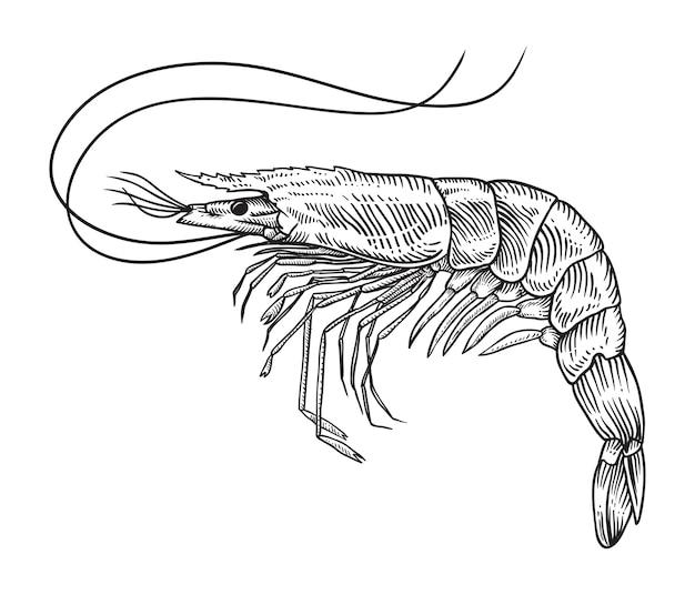 Mão, desenhado, esboço, camarão, ilustração