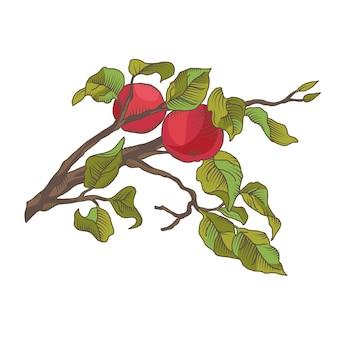 Mão desenhando um ramo de maçã com frutas. ilustração isolado no branco