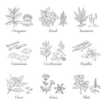 Mão-extraídas especiarias. ervas e vegetais esboçar elementos, orégano açafrão, cardamomo, manjericão e hortelã.